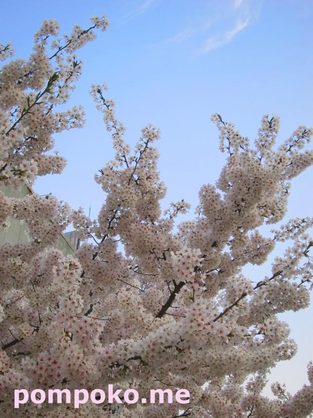 Cheery Blossom - Edae